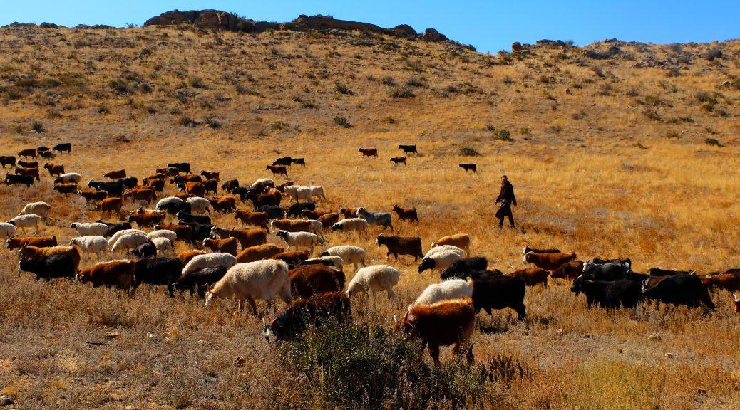 Geiten in Mongolië